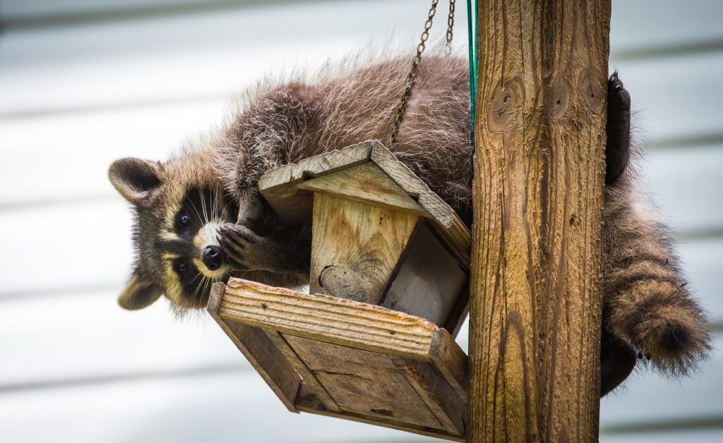 raccoon removal Buffalo